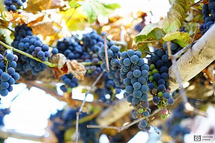 Купить лозу винограда в дубае купить квартиру берлин